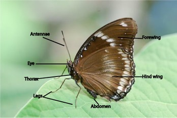 butterfly-anatomy