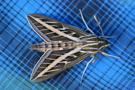 white-lined-sphinx-moth-2
