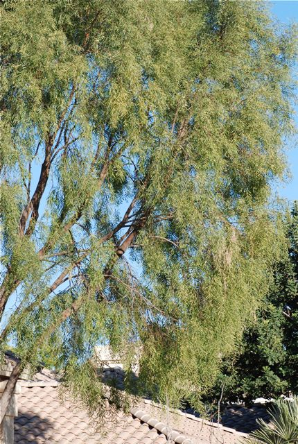 Seed Of The Week Acacia Salicina Growing With Science Blog