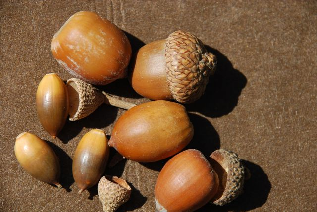 Acorns come in many si...