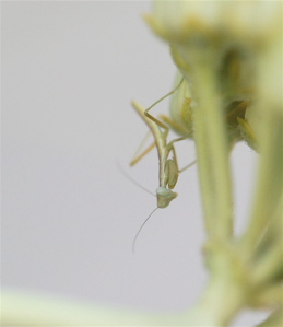 praying mantis nymph