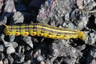 whiteline caterpillar