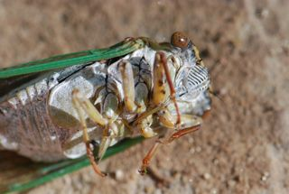 cicada mouthpart