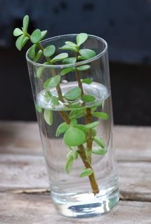 rooting cuttings is easy. do not buy plants                       at store!