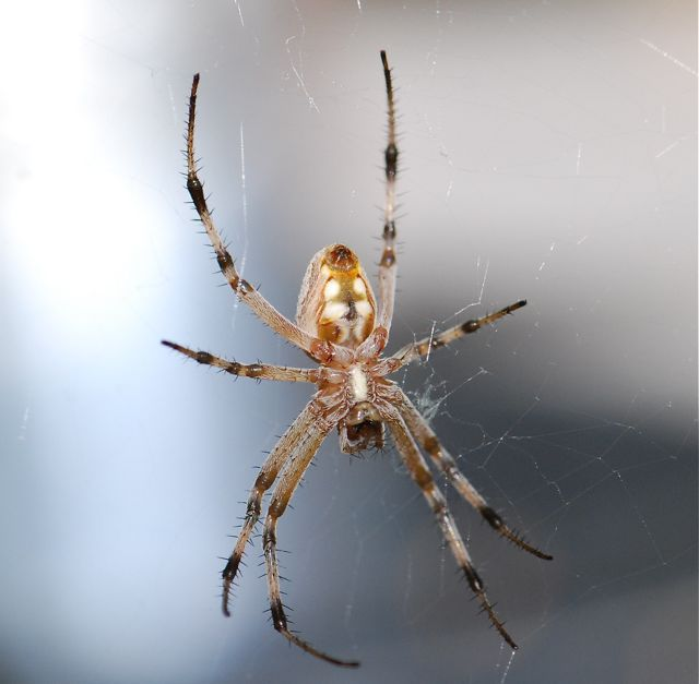 garden spider – Growing With Science Blog