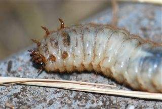 green june beetle grub