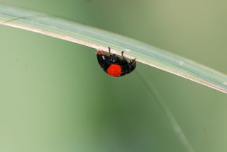 twicestabbed lady beetle