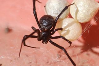 black widow with egg sacs