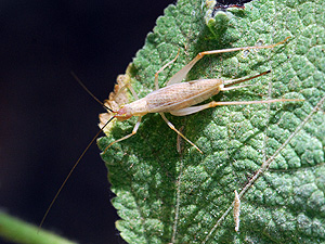 tree cricket female