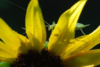 tree cricket
