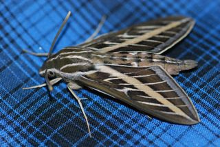 whitelined sphinx moth