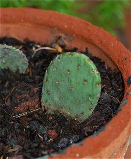 cactus pad