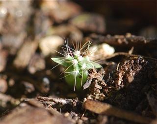 saguaro seedling