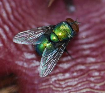 greenbottlefly