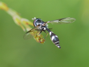 thickheaded fly