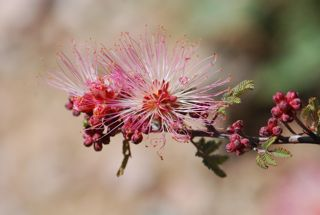 pink fairy duster