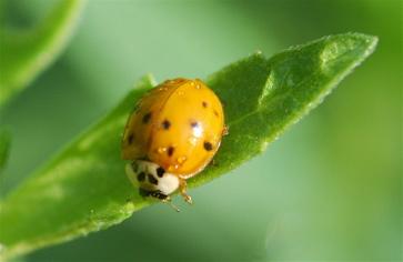harmonia lady beetle