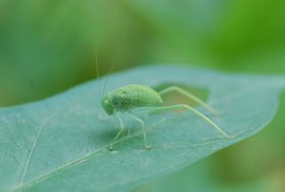 katydid nymph
