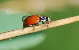 ladybug with raindrop