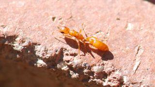 bethylidae wasp