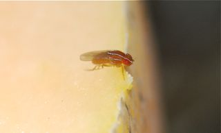 zaprionus fruit fly